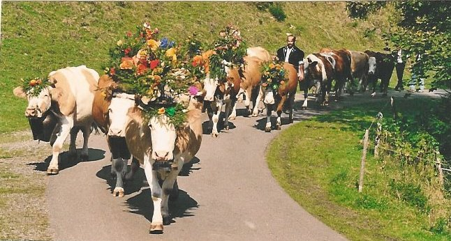 Swiss cows with flowers in their horns