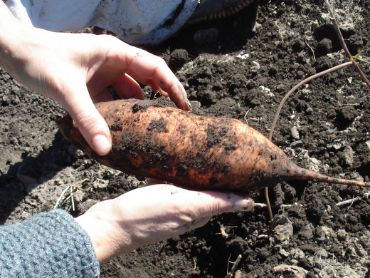unearthing sweet potatoes